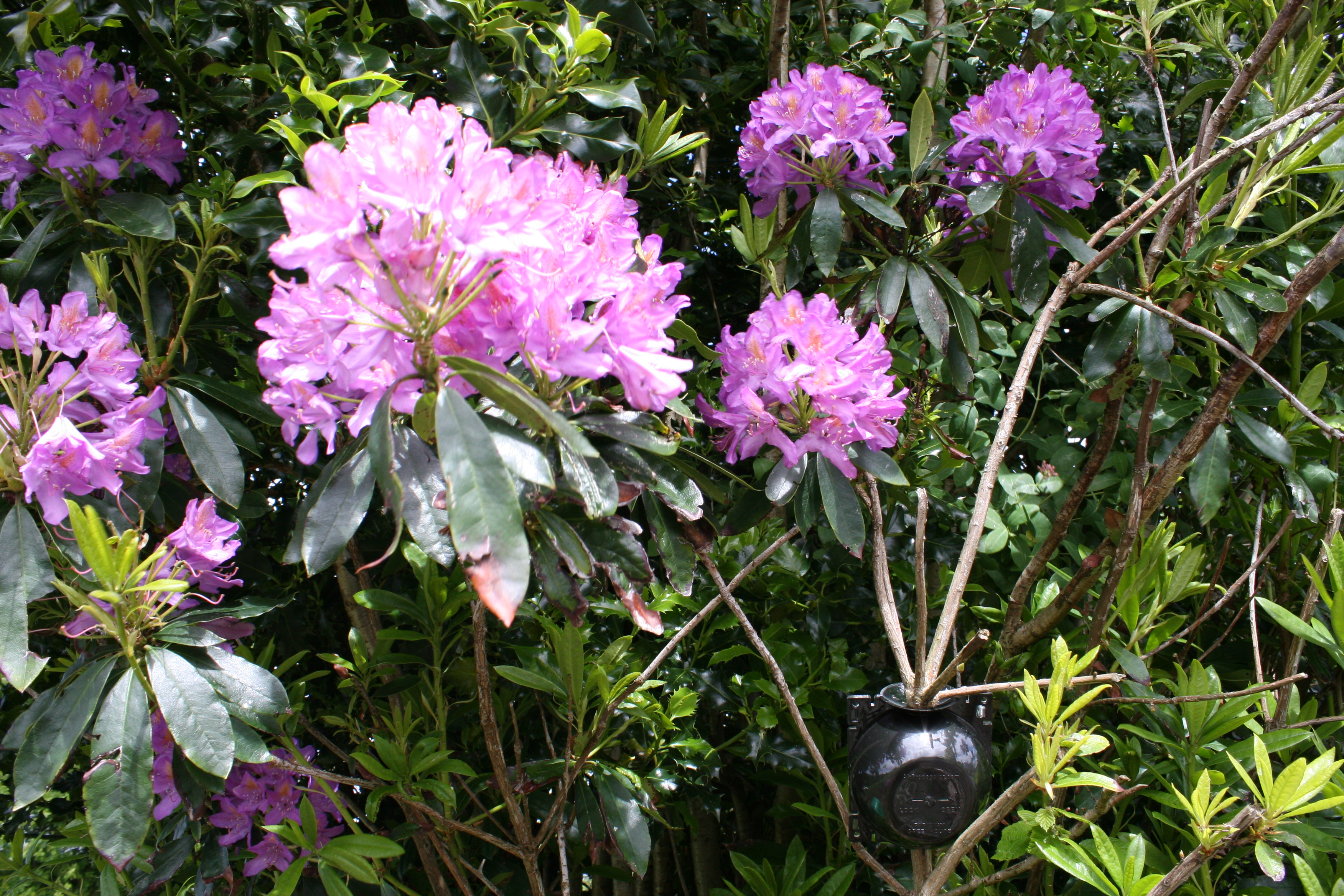 Cloning Rhododendron and Propagating Rhododendron