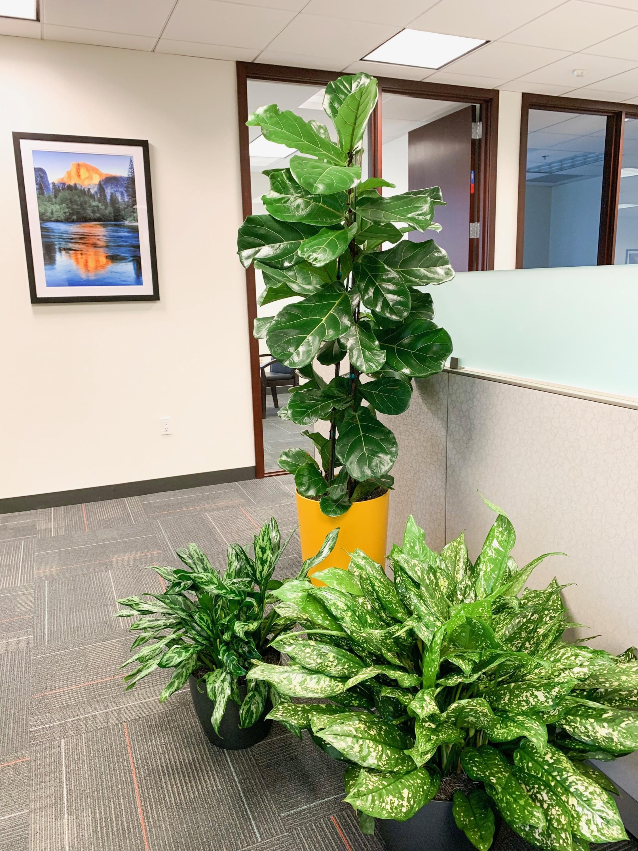 Interior Office Plants, plant service, plant maintaiance, plantscape design