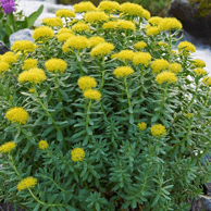 rhodiola-fat-loss