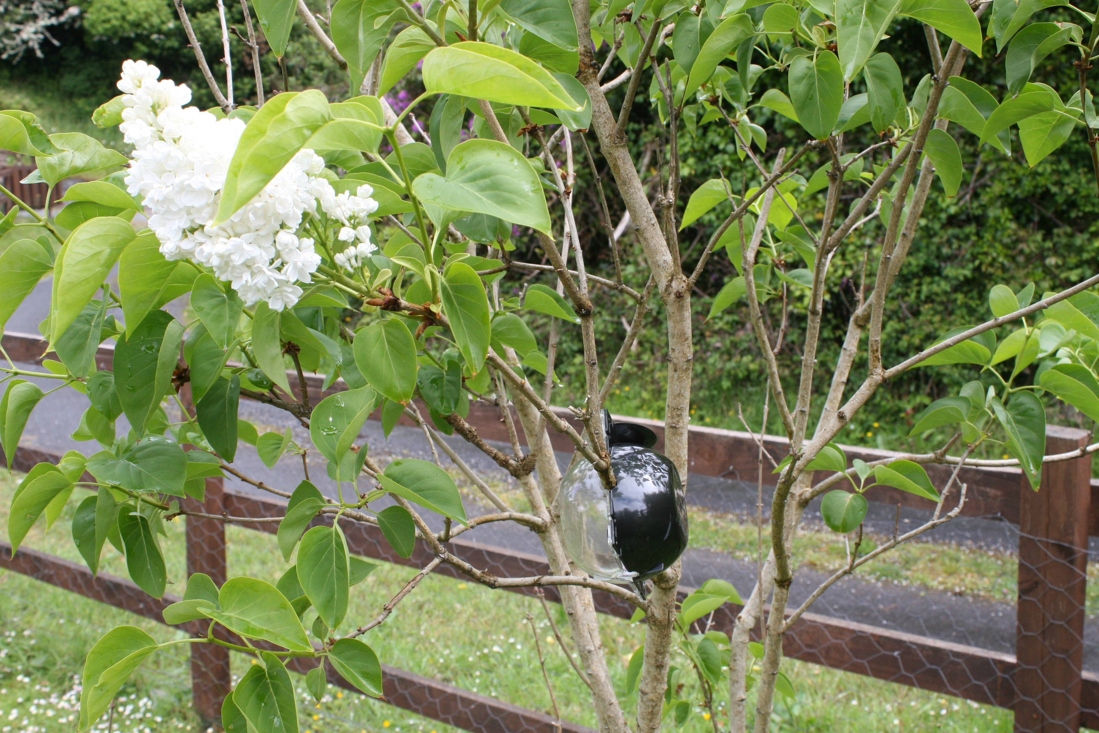 Cloning a Lilac Tree and Propagating Lilac